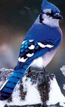 black and blue bird