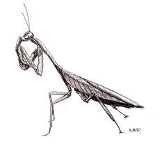 Original -Praying Mantis in black pen and ink on Etsy, $50.00