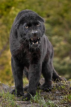 beautiful but very angry 😨😱😰 Black Jaguar (Melanistic Cat). The jaguar is the largest feline in the Americas. Due to melanism, some Angry Animals, Baby Animals, Wild Animals, Jaguar Design, Jaguar Logo, Jaguar Tattoo, Beautiful Cats, Animals Beautiful, Black Jaguar Animal