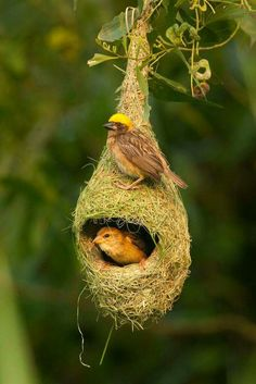 Weaver birds.The male weaves the nest to attract the female.