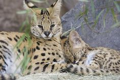 Onshe the serval with her napping cub Kamari