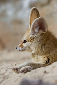 llbwwb:      Fennec fox (by asbimages.co.uk)