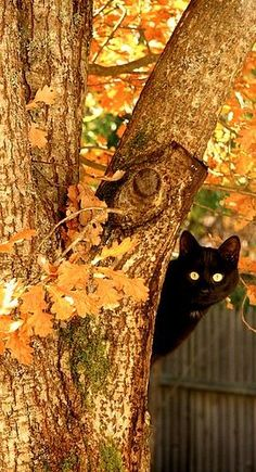 A sweet black kitty plays peek-a-boo from behind a golden leaf tree. This is just an adorable photo.