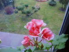 OGRODOWA KUCHNIA CZY KUCHENNY OGRÓD ?: PELARGONIE , geranium , 天竺葵 , ゼラニウム , گل شمعدانی ,...