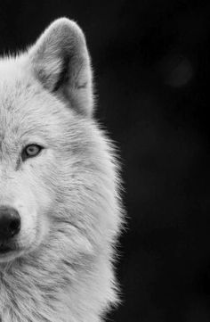 Husky vs Wolf: Are Huskies Actually Related to Wolves? Wolf Images, Wolf Pictures, Wolf Wallpaper, Animal Wallpaper, Wolf Spirit, My Spirit Animal, Beautiful Wolves, Animals Beautiful, Animals And Pets
