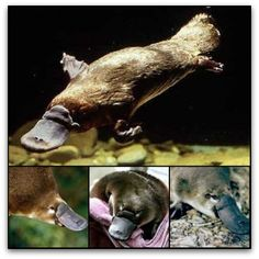 It's venomous, It's got a duck's bill, and otter's feet and a mammal's body. Oh, and it lays eggs. No wonder Western naturalists were confused by the platypus when it was first introduced. The platypus, along with the echidna, is a monotreme (egg-laying mammal). It's native to Australia and Tasmania where it was hunted to near-extinction during the 1800s for its fur, but has been protected since the turn of the 20th century.