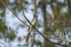 Nirajphotographer: Asian Paradise Flycatcher :: Indian Paradise Flyca...