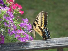 Swallowtail on Verbena