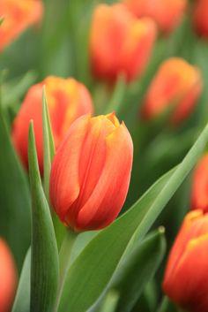 Orange Tulips by Miss Elsie Pink Tulips, Orange Flowers, Flowers In Hair, Fresh Flowers, Tulips Garden, Planting Flowers, Amazing Flowers, Beautiful Flowers, Bordado Floral