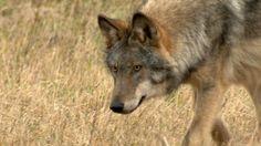 Windach: Der für den Wolf spricht - Nachrichten Landsberg - Augsburger Allgemeine