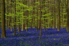 #belgium #forest #hallerbos #nature