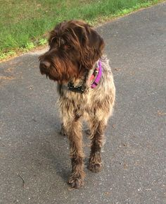 """""""Griswold"""" my wirehaired pointing griffon"""