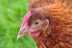 Me ;) #pazurempojajkach #chicken
