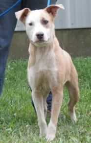 Sierra - Sponsored - Pit Bull Terrier