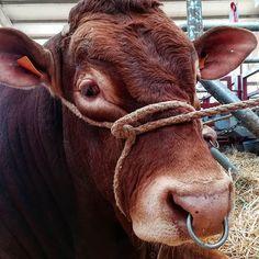 Feria de Salamanca #salamaq #fiestas #salamanca #ferias #castillayleon #cyl #picoftheday #instalike #instagood #instapic #pic #picture Cow, Instagram, Pictures, Cattle