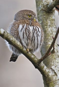 Pygmy owl.    Go to www.YourTravelVideos.com or just click on photo for home videos and much more on sites like this.