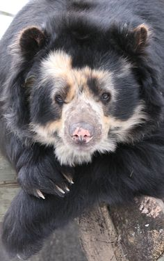Spectacled Bear by Brandon Torelli on 500px                              …