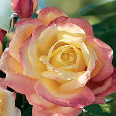 Rose Bella Roma Hybrid Tea - Bright yellow buds spiral open, revealing gorgeous, warm yellow petals blushed rich pink at their edges, and set off by glossy, dark green foliage.