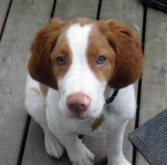 Brittany Spaniel Pup ~ Classic Look Brittney Spaniel, Brittany Spaniel Dogs, Springer Spaniel, Hunting Dogs, Spaniels, Dog Pictures, Cricket, Puppy Love, Best Dogs