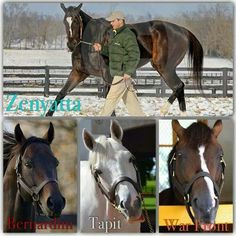 Zenyatta and the amazing sires of her first four foals: Bernardini (Cozmic One), Tapit (Ziconic), War Front (Z Princess who died as a weanling, and a colt who died as a newborn) Beautiful Horses, Animals Beautiful, Pretty Horses, Horse Tack, Horse Racing, Horse Mane Braids, Thoroughbred Horse, Zenyatta Horse, Types Of Horses