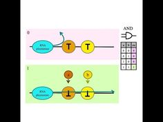 How do I build an AND gate in a biological arithmetic logic unit?