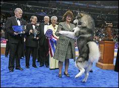 Alaskan Malamute winning at the dog show Giant Alaskan Malamute, Malamute Husky, Alaskan Husky, Big Dogs, I Love Dogs, Big Dog Breeds, Samoyed Dogs, Dog Show, Baddies