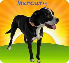 Westampton, NJ - American Staffordshire Terrier/Boxer Mix. Meet Mercury D-68466, a dog for adoption. http://www.adoptapet.com/pet/15184330-westampton-new-jersey-american-staffordshire-terrier-mix