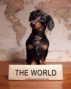 Official Representative of teh World | by Crusoe the Celebrity Dachshund