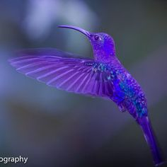 Flying lavender blue Hummingbird