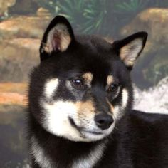 We've heard that the Shiba Inu breed gets along great with cats and doesn't shed...some day when we have a yard!