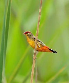 Endangered wetland bird- the orange-breasted waxbill!