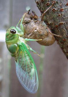 cicadas - Google Search