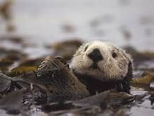 Sea Otter - Yahoo Image Search Results