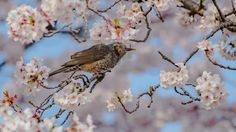 Spring in Japan - Brown eared Bulbul