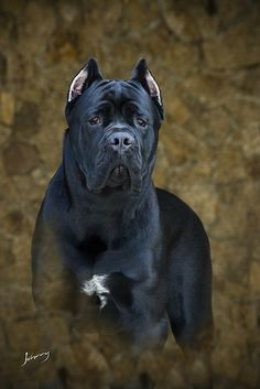 #Cane #Corso by Johnny Fotoanimal*