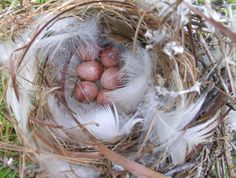 House Wren Nest