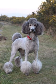This is must see web content. Head to the webpage to see more about poodle puppies. Pet Dogs, Dogs And Puppies, Dog Cat, Poodle Puppies, Doggies, Poodle Grooming, Dog Grooming, Poodle Haircut Styles, Grey Poodle