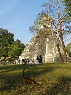 Pizote en ruinas de Tikal, Peten