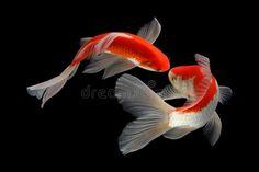Koi Fish Drawing, Fish Drawings, Pretty Fish, Beautiful Fish, Koi Fish Pond, Fish Ponds, Koi Art, Fish Art, Image Photography