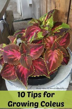 10 Tips for Growing Coleus. Sunny or shady, you want your garden to be full of vibrant colors, and coleus plants deliver that impact! Coleus is one of those plants that can thrive in many conditions, so being familiar with how to grow coleus is smart. Read below for my 10 Tips for Growing Coleus, and see how easy it can be to enjoy this vibrant plant.