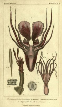 3 (Plates) - The animal kingdom, arranged according to its organization, serving as a foundation for the natural history of animals : - Biod...