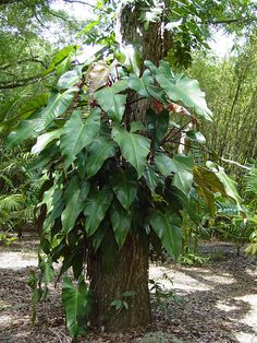 Houseplants That Filter the Air We Breathe Fast Climbing Philodendron Anderson Red Red Plants, Large Plants, Shade Plants, Tropical Plants, Tropical Gardens, Pine Garden, Lower Lights, Plant Sale, Types Of Soil
