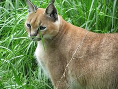 Electra Caracal | Carolina Tiger Rescue Caracal, Raptors, Predator, Panther, Charity, Cute Animals, Dreams, Cats, Pretty Animals