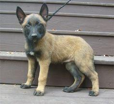 Belgian Malinois puppy...Baby Bear!   http://bestfriendmemories.blogspot.com