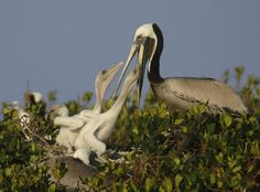 A mother Pelican feeds her chicks fresh fish caught in the waters of Tarpon Bay, which stretches across the heart of Sanibel Island Florida's Ding Darling National Wildlife Refuge.