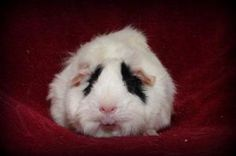 Bambi is an adoptable Abyssinian Guinea Pig in Lower Burrell, PA. Bambi is probably one of the sweetest little girls I've ever seen.  She is so quiet and wants nothing more than to be cuddled and lov...