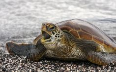 Image detail for -Green Sea Turtle (Chelonia mydas), Galapagos