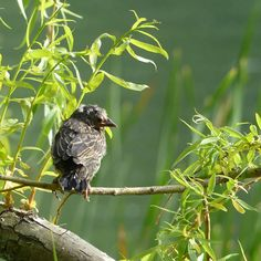 A baby red-winged blackbird, taken in High Park, Toronto.
