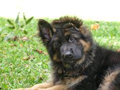 German shepherd long coat puppy 11 weeks old  Instagram @chewie.jax.the.gsds