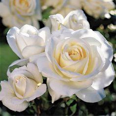 Fabulous Rose Bush